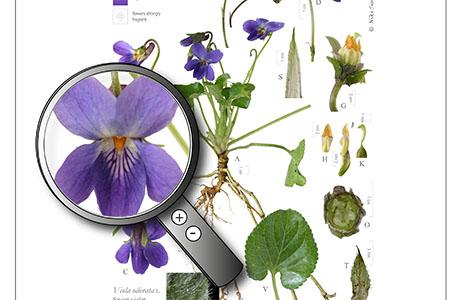 violet magnifier best portion for website
