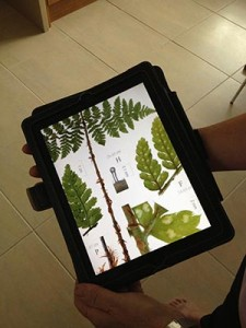 iPad fern enlarged for blog