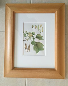 Liriodendron framed watercolour tiny for web