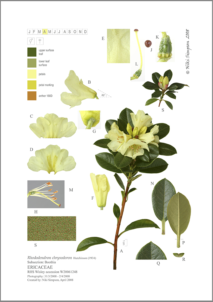Rhododendron chrysodoron A3 composite for PB 30mar2010 for blog border